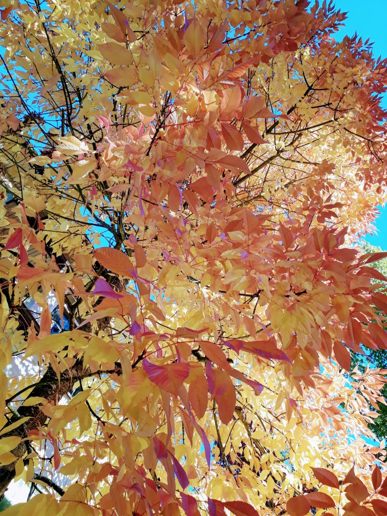 fall autumn leaves red yellow fall in vancouver ubc campus ikigai travel