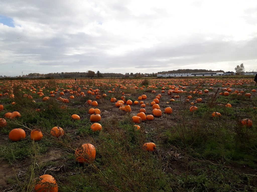 halloween pumpkins pumpkin patch richmond fall in vancouver ikigai travel