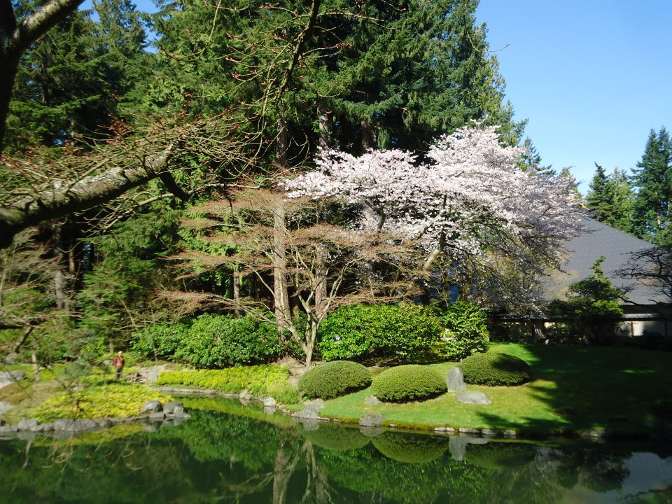 nitobe gardens cherry blossoms spring in vancouver ikigai travel