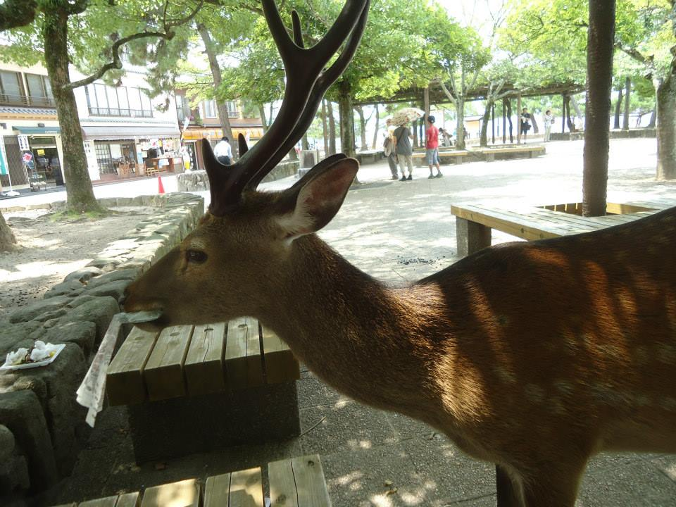 Hiroshima & miyajima guide deer torii itsukushima shrine japan ikigai travel